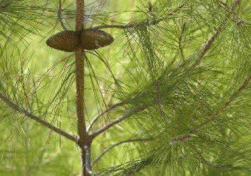 Banamex pretende sembrar 500,000 pinos en un año. (Foto: Jupiter Images)