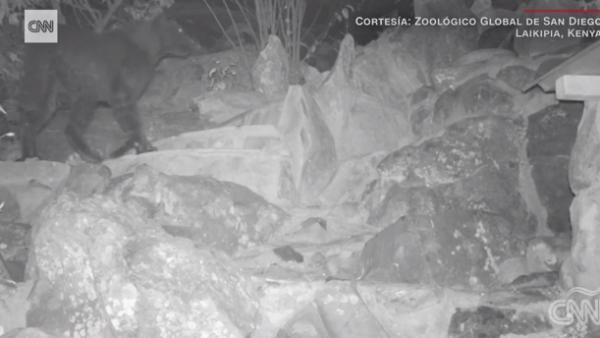 Por primera vez en 100 años, científicos captan rara especie de pantera negra