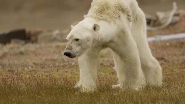El dramático video de un oso polar delgado que lucha por avanzar lejos del hielo