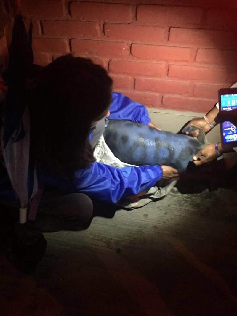 Afuera del recinto donde los candidatos debatían, simpatizantes se atacaron hasta con puercos pintados de azul.
