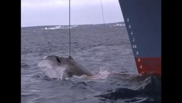 Los países procaza y sus aliados impiden crear un santuario de ballenas