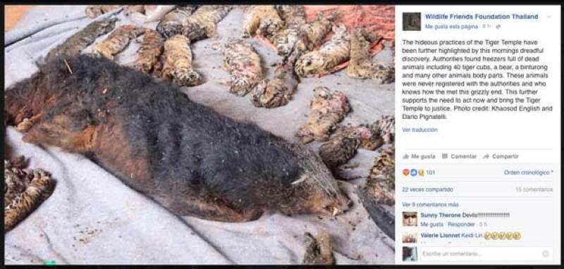 Wildlife Friends Foundation Thailand ha logrado rescatar a varios animales que sufrían de maltrato en Tiger Temple, en Tailandia, sin embargo la polémica crece tras las fuertes imágenes difundidas.
