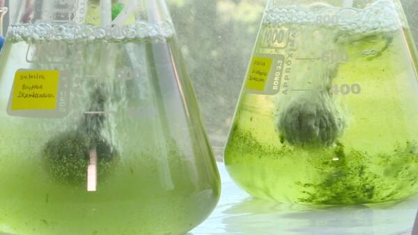 algas peru contaminacion