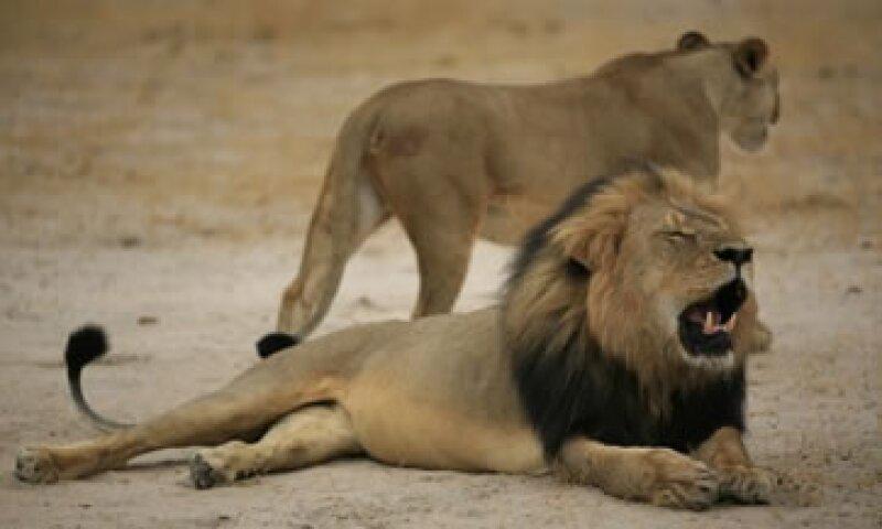 El león Cecil antes de ser cazado en Zimbabue. (Foto: AFP)