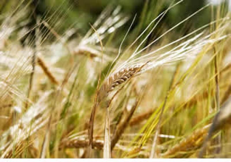 Los precios del trigo, la soja y el maíz subieron a máximos en 2 años en EU. (Foto: Photos to Go)