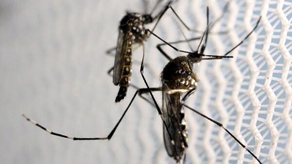 Mosquitos contagiosos