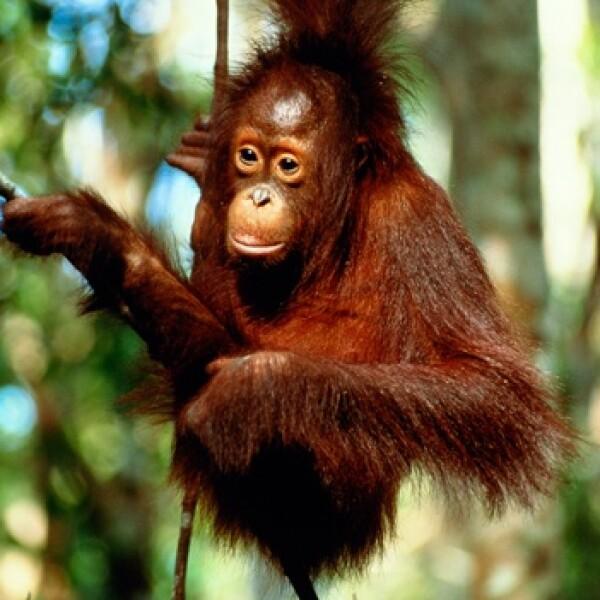 chango, mono, indonesia, patrimonio, ambiente, selva, biodiversidad,