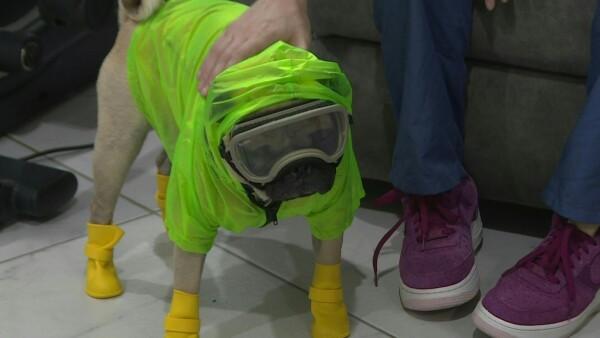 Harley, el perro terapeuta que alivia el estrés de médicos mexicanos