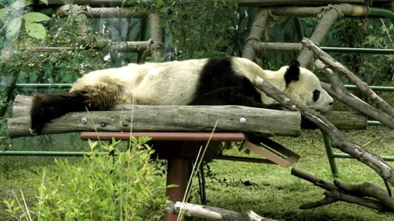 panda en el zoologico de chapultepec