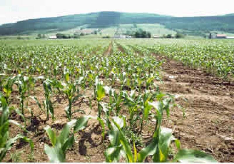 El Gobierno calcula que la producción de maíz podría caer a entre 21 y 22 millones de toneladas en el ciclo. (Foto: Jupiter Images)