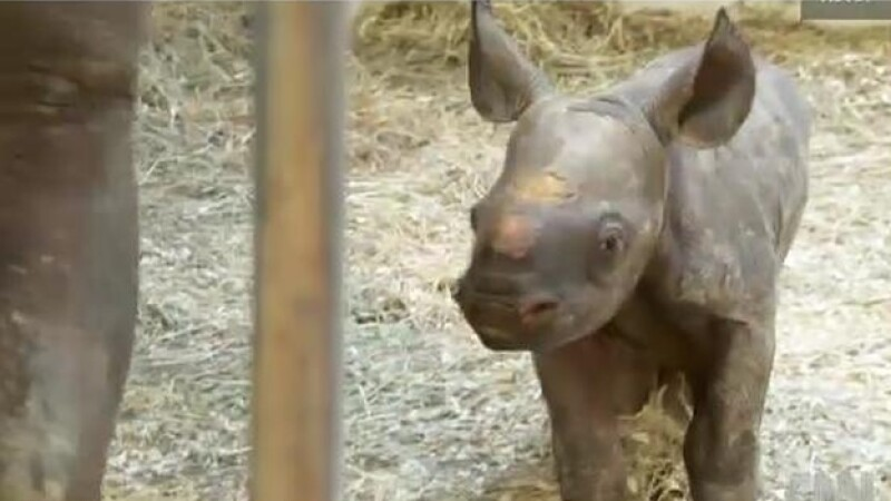 bebe rinoceronte negro nacida en cautiverio en zoológico de pittsburgh