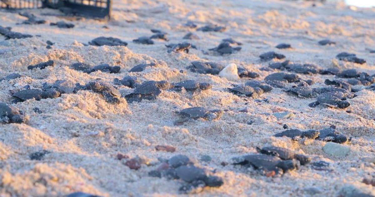 La pandemia 'ayuda' al nacimiento de tortugas en la costa de Sonora