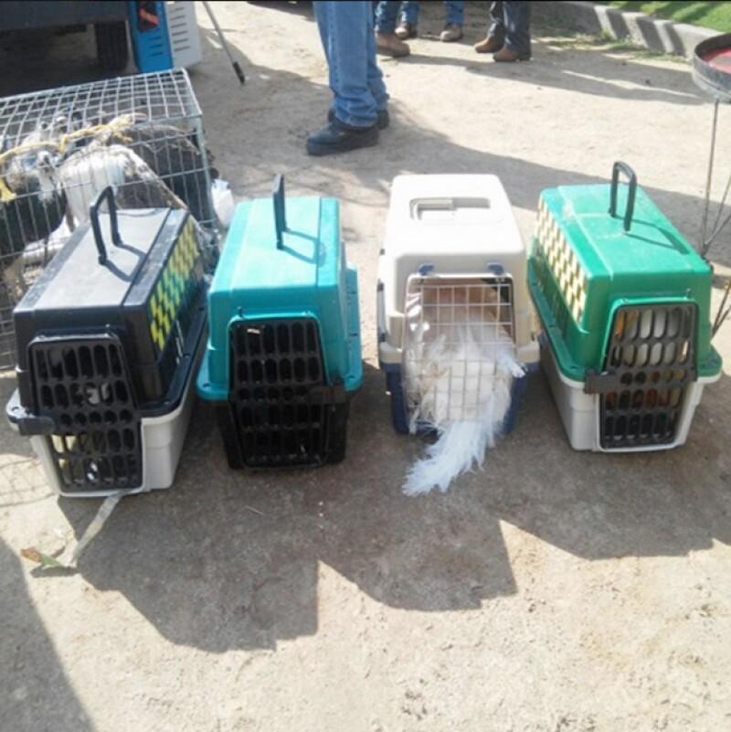 Cinco pavorreales cuello verde, tres pavorreales cuello azul, tres cisnes blancos, tres cisnes negros, dos pavorreales blancos, dos guacamayas azul dorado, dos cacatúas molucas y una gallina de guinea fueron encontrados.