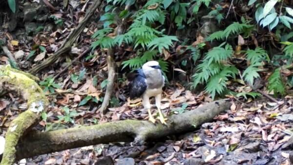 Águila crestada animales en peligro de extinción