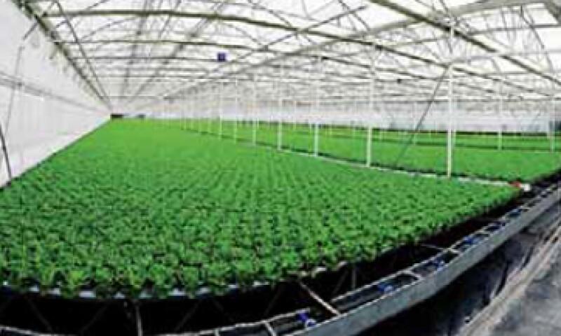 Altex invirtió un total de 500 millones de pesos (mdp) para automatizar al 100% el invernadero hidropónico. (Foto: Especial)