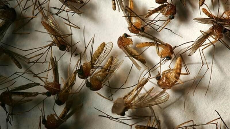 insecto, epidemia, enfermedad,