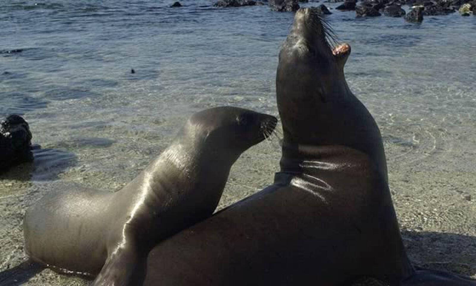 El león marino de Hooker fue cazado por su piel y aceite hasta 1893. Listado como vulnerable, habita las islas subantárticas de Nueva Zelanca y se reproduce en apenas dos islas de este archipiélago.