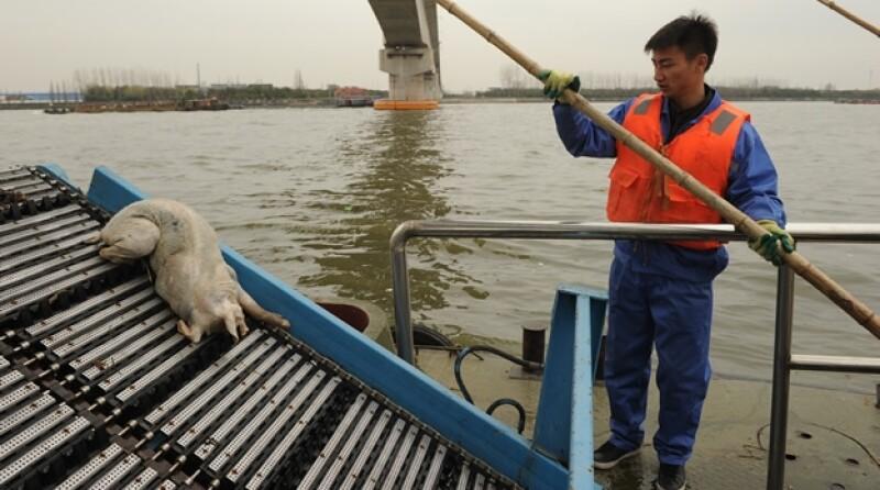 Cerdos río  Huangpu, Shanghai, China