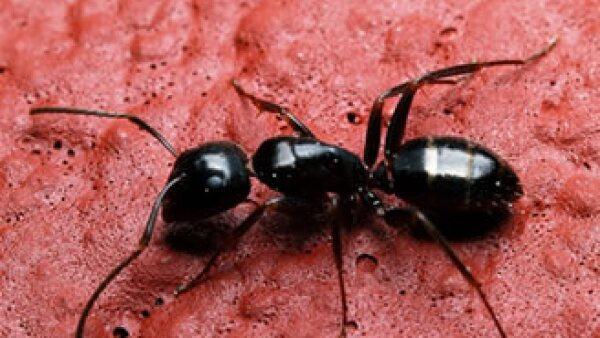 Las hormigas son uno de los insectos más consumidos en el mundo. (Foto: Cortesía SXC)