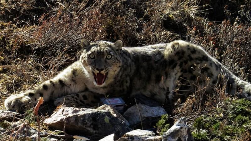 raro ejemplar de un leopardo amur