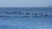 Cientos de ballenas quedan varadas en una bahía de Tasmania