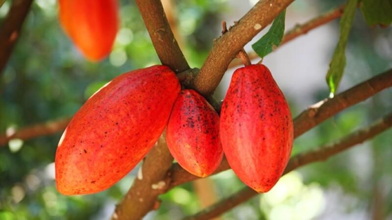 semilla cacao chocolate