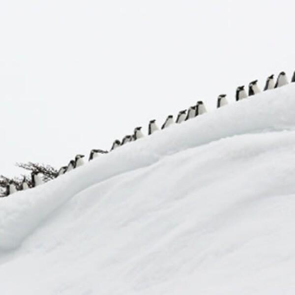 pingüinos centígrados y paralelos