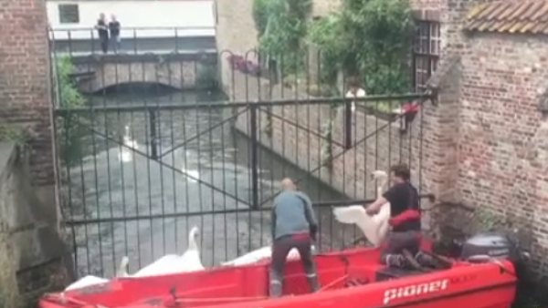 Cisnes son rescatados de un lago contaminado