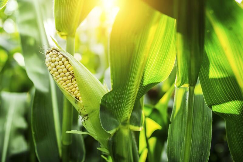 Monsanto ha estado concentrada últimamente en ganar participación en el mercado convencional de maíz en Ucrania. (Foto: Getty Images)