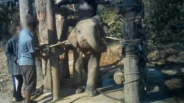 Los elefantes pagan el costo de entretener a los turistas en Tailandia