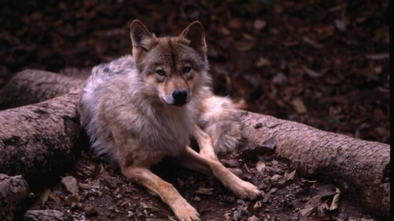 lobos perros origen