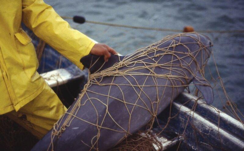 Algunas de las vaquitas marinas quedan atrapadas en las redes de los pescadores