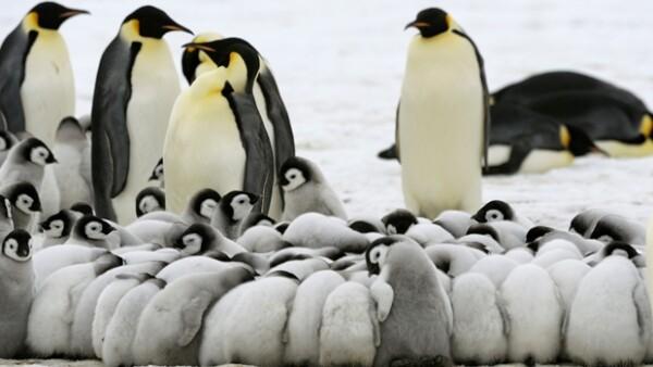 pinguinos emperador