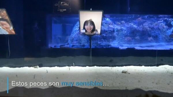 El acuario de Japón pide hacer videollamadas con anguilas