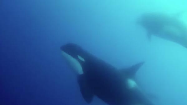 Orcas tipo D
