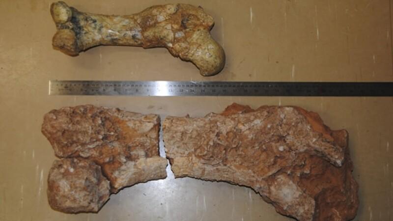 fosil de marsupial gigante