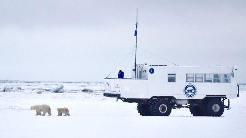 Oso polar Manitoba