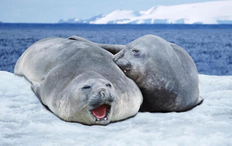 Las focas son los principales animales que cazan en Canadá, por lo que existen varias organizaciones para mantenerlas protegidas ante las personas que las usan para su beneficio.