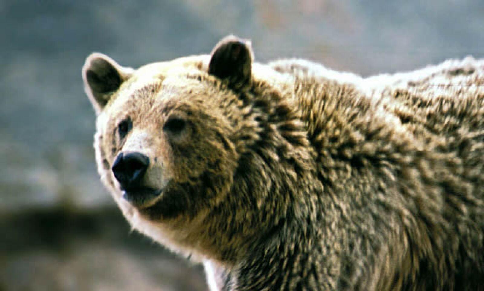 El grizzly es una subespecie del oso pardo. Habita en áreas de rescate, en Wyoming, Idaho y Montana (EU). En los últimos 40 años ha entrado y salido de la lista de especies en peligro de EU.