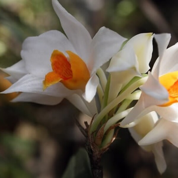 orquidea especies vietnam