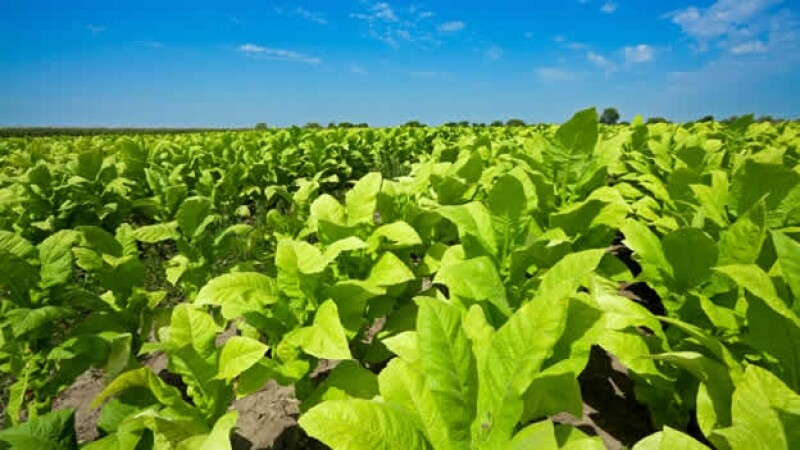 planta tabaco
