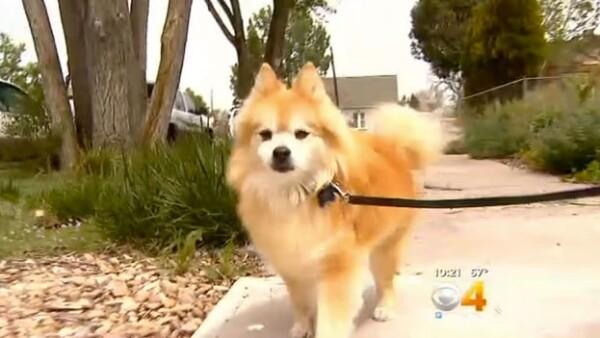 El perro pomerano de 14 años que recibe una ministración de suplemento con marihuana para tratar su epilepsia