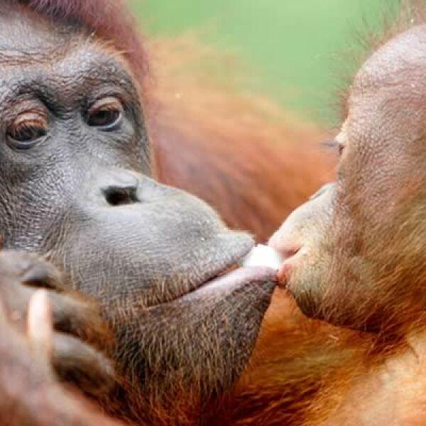 El orangután borneano, que comparte 97% de ADN con los seres humanos, está clasificado en peligro de extinción. Su hábitat es destruido por la demanda global de madera y aceite de palma.