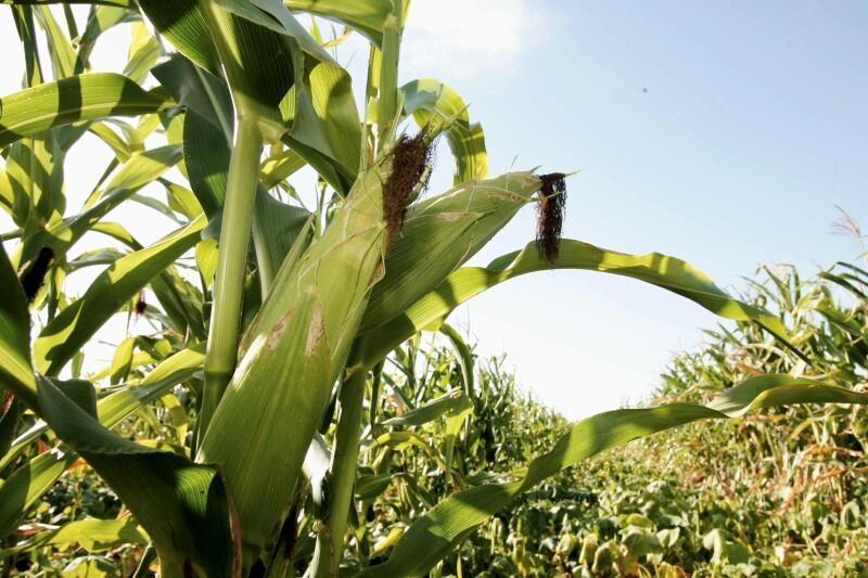 LA CNA argumenta que científicamente no se ha comprobado que el maíz modificado cause afectaciones. (iStock)