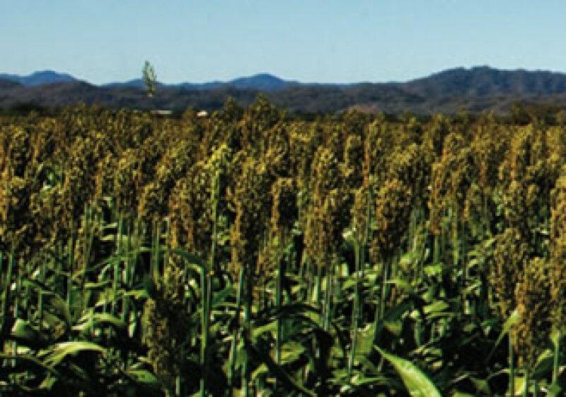 En estados como Nayarit, Monsanto tiene programas de mejoramiento en campos experimentales. (Foto: Mauricio Ramírez)