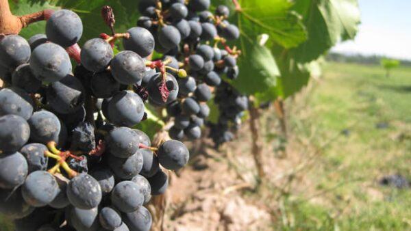 vino sudafrica