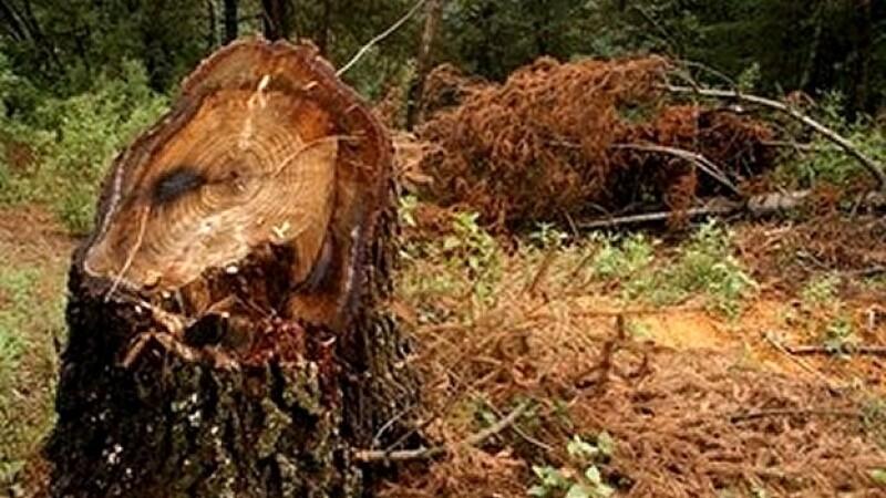 plaga bosques durango