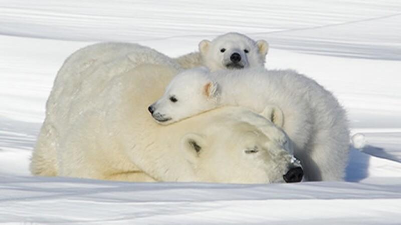 oso polar cubs