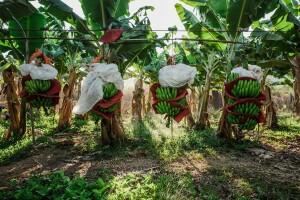 Plantación plátano