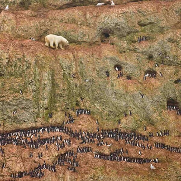 Un oso polar escala un risco buscando alimentarse de huevos de gaviota, en  Ostrova Oranskie, al norte de Rusia, el 30 de junio de 2011.
